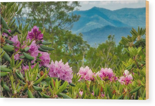 Blue Ridge Parkway Wood Print featuring the photograph Catawba Rhododendron At The Craggy by Dana Foreman