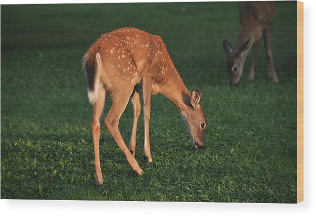 Fawn Wood Print featuring the photograph Fawn At Dusk by John Ricker