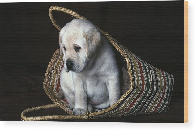 Labrador Wood Print featuring the photograph Puppy In A Basket by Gordon Henderson