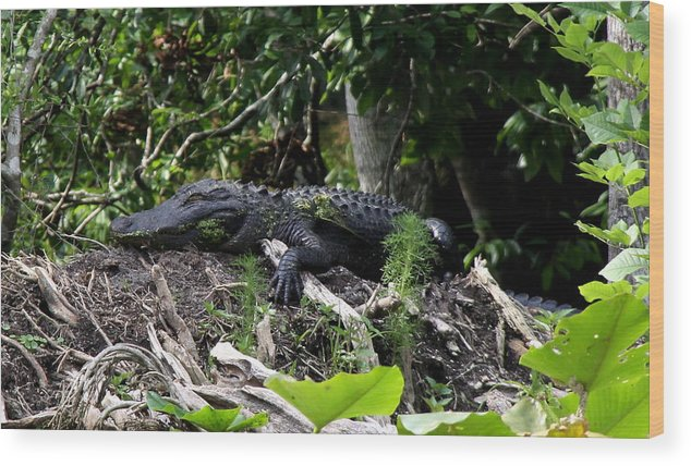 American Alligator Wood Print featuring the photograph Sleeping Alligator by Barbara Bowen