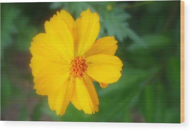 Flowers Wood Print featuring the photograph Summer Coreopsis by Janet Telander