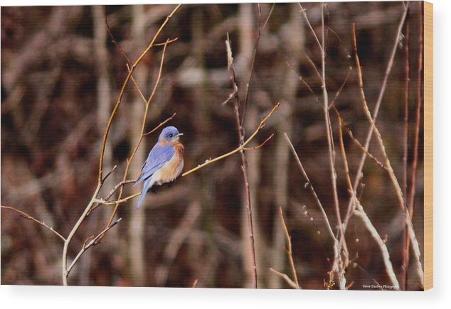 Eastern Bluebird Wood Print featuring the photograph Standout by Travis Truelove