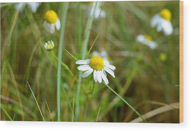 Daisy Wood Print featuring the photograph Daisy by Barbara Walsh