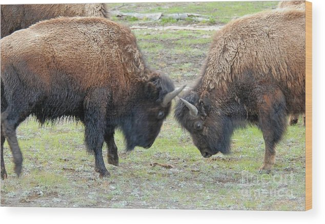Bison Wood Print featuring the photograph Bison Standoff by Dennis Hammer