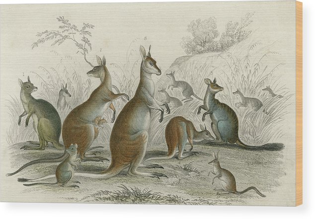 Kangaroos Wood Print featuring the drawing Various Kangaroos Lord Derby's, Aroe by Mary Evans Picture Library