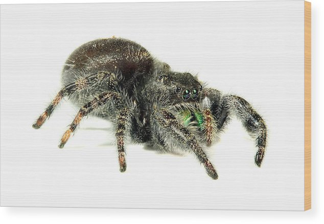 Spider Wood Print featuring the photograph Jumping Spider by Paul Fell