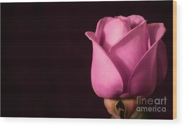 Rose Wood Print featuring the photograph Pink Rose by Robin Lynne Schwind