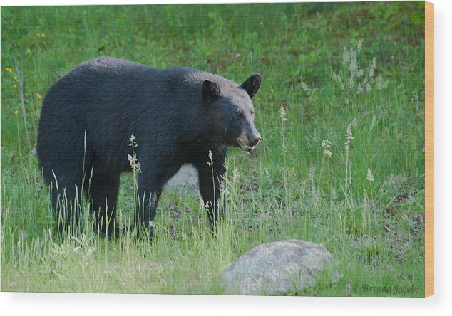 Bear Wood Print featuring the photograph Black Bear Female by Brenda Jacobs