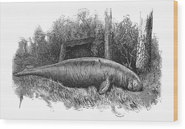 Illustration Wood Print featuring the photograph Dugong, Sea-cow by British Library