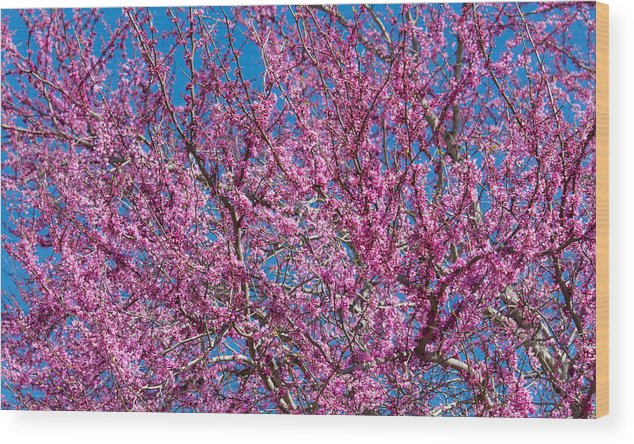 Redbud Wood Print featuring the photograph Redbud Tree With Dense Blossoms by Steven Schwartzman