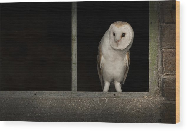 Barn Owl Wood Print featuring the photograph Barn Owl In Window by Andy Astbury