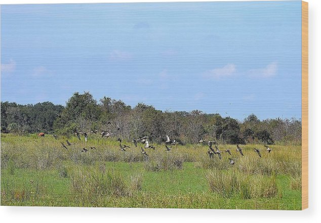 Wood Print featuring the photograph Blue Winged Teal Ducks In Fliet by Katrina Johns