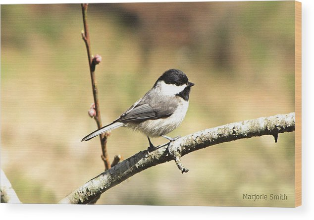 Chickadee Wood Print featuring the photograph My Little Chickadee by Marjorie Smith