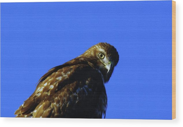 Hawks Wood Print featuring the photograph A Hawk Looking Back by Jeff Swan