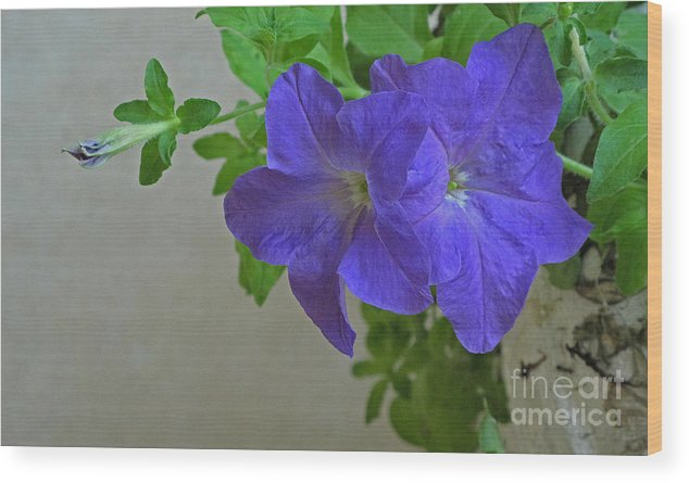 Plant Wood Print featuring the photograph Common Morning Glory  #1313 by J L Woody Wooden