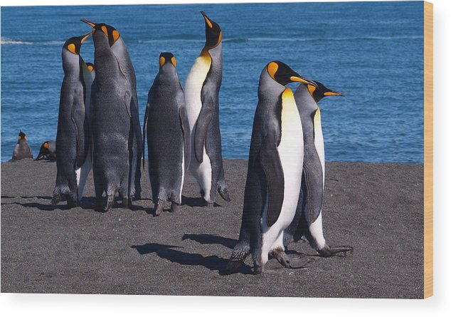 King Penguins Wood Print featuring the photograph Gold Harbour South Georgia 88 by Per Lidvall