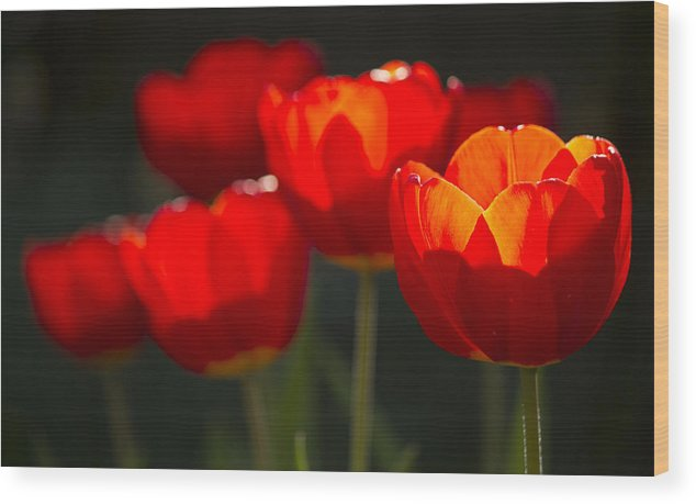 Flowers Wood Print featuring the photograph Tulips by Todd Wall