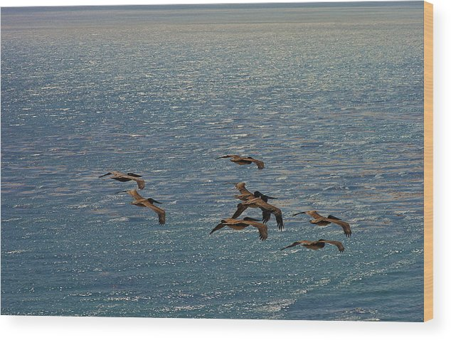 Hunting Pelicans Wood Print featuring the photograph The Pelicans Hunting by Viktor Savchenko