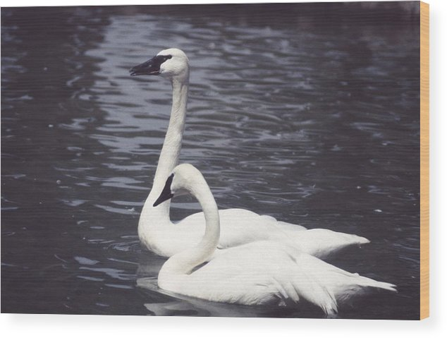 Swan Wood Print featuring the photograph 92347-8 by Mike Davis