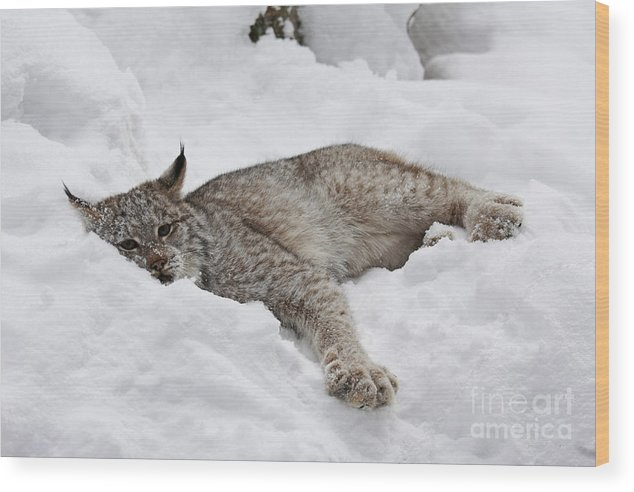 Baby Wood Print featuring the photograph Baby Canadian Lynx Laying In The Snow by Inspired Nature Photography Fine Art Photography