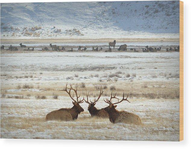 Elk Wood Print featuring the photograph Big Boys Club.. by Al Swasey