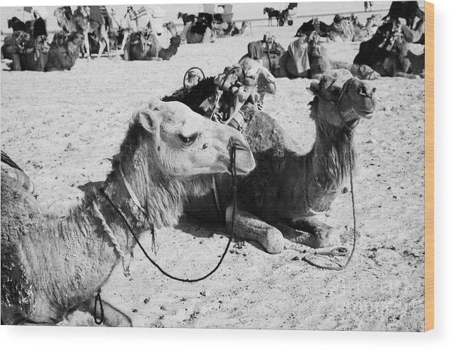 Tunisia Wood Print featuring the photograph dromedary camels sitting in the sand with saddles in the sahara desert at Douz Tunisia by Joe Fox