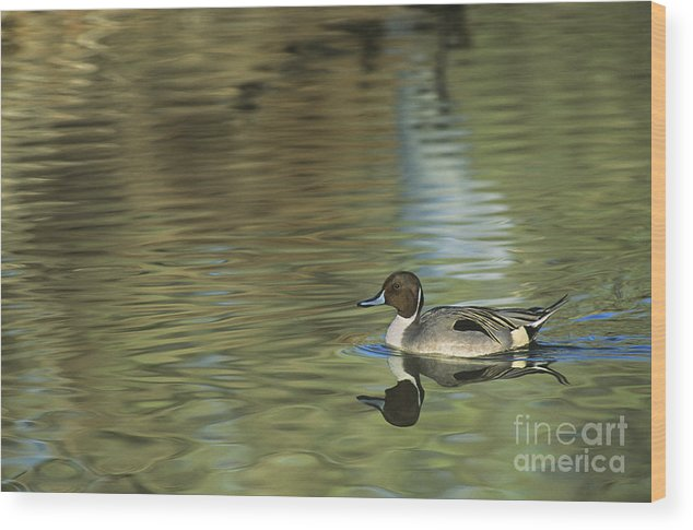 North America Wood Print featuring the photograph Northern Pintail In A Quiet Pond California Wildlife by Dave Welling