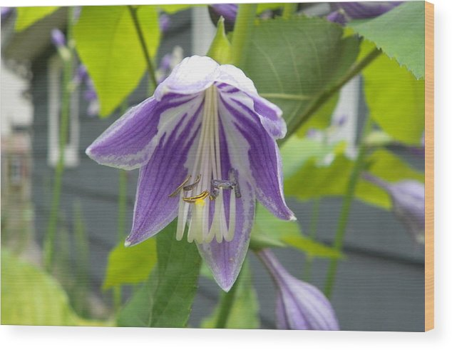 Hosta Wood Print featuring the photograph Purple And White by Michael Cazad