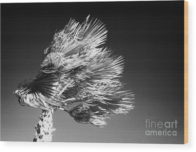Europe Wood Print featuring the photograph single top of Palm Tree blowing in a very strong wind against a blue sky Tenerife Canary Islands Spain by Joe Fox