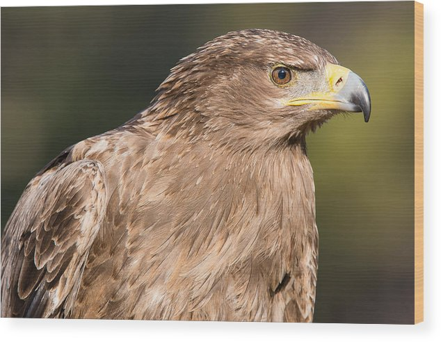Aquila Rapax Wood Print featuring the photograph Tawny Eagle Portrait by Chris Smith