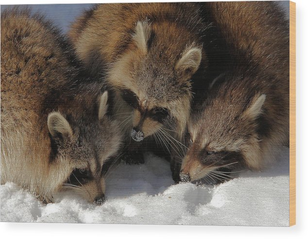 Raccoon Wood Print featuring the photograph Three Sweet Raccoons by Doris Potter