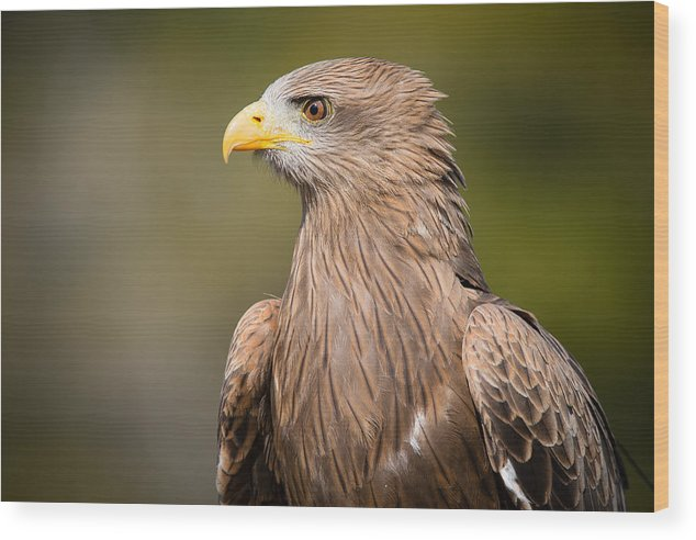 Awendaw Wood Print featuring the photograph Yellow-billed Kite by Chris Smith