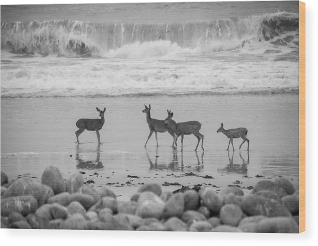 2012 Wood Print featuring the photograph 4 Deer In Surf Black And White by Connie Cooper-Edwards