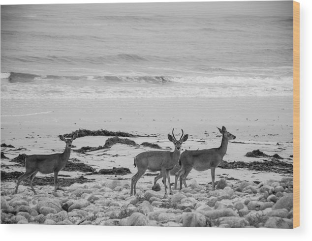 2012 Wood Print featuring the photograph Deer On Beach Black And White by Connie Cooper-Edwards
