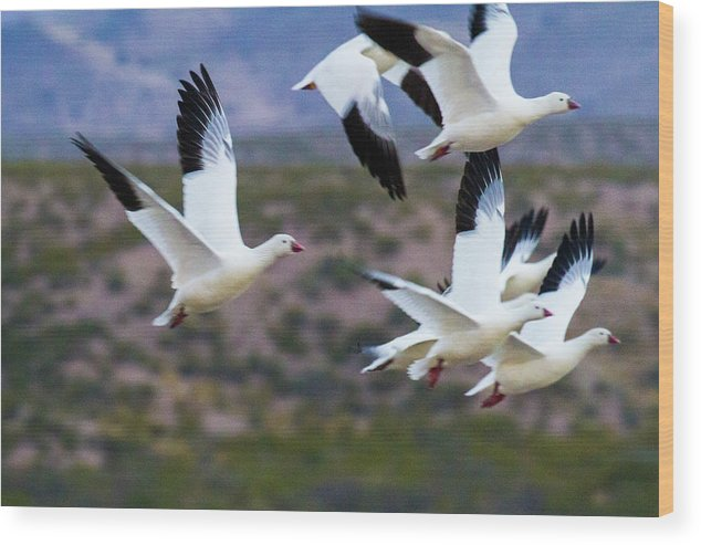 Bosque Del Apache Wood Print featuring the photograph Bosque Snow Geese Flyover by Randy Jackson