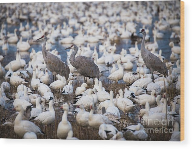 Bosque Del Apache Wood Print featuring the photograph Bosque Waterfowl Mix by Randy Jackson