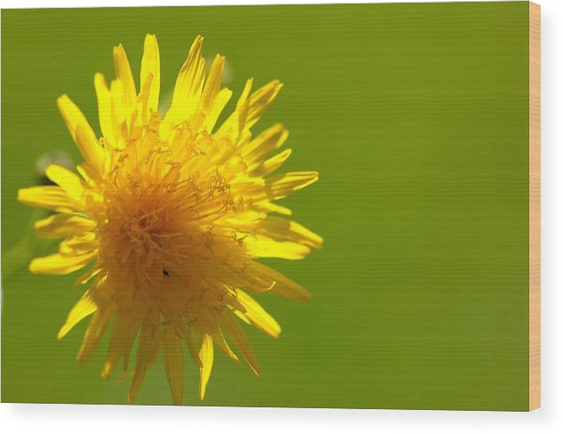 Dandelion Wood Print featuring the photograph Dandelion by Michael Park