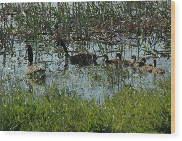 Wildlife Wood Print featuring the photograph The Canadian Geese Family by See Me Beautiful Photography