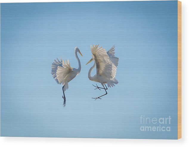Egrets Wood Print featuring the photograph Can I Have This Dance by Matthew Trudeau