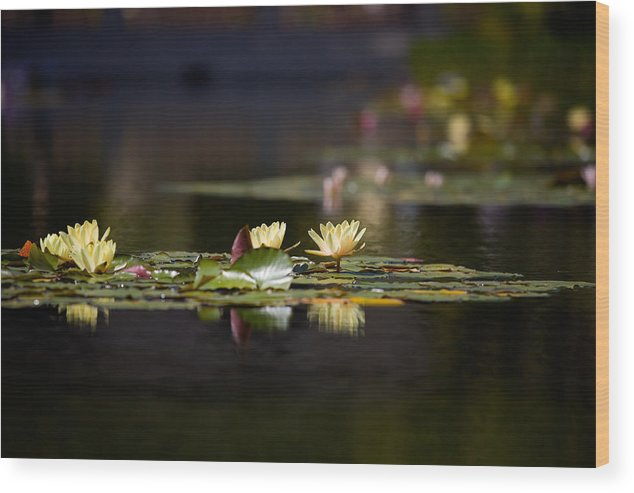 Waterlily Wood Print featuring the photograph Lily Pond by Peter Tellone