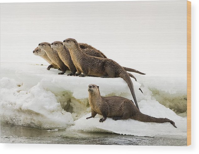 River Otter Wood Print featuring the photograph Romp Of Otters by Mike Robinson