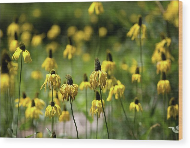 California Wood Print featuring the photograph Yosemite Coneflowers by Peter Tellone