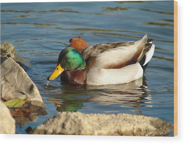Duck Wood Print featuring the photograph 120109-139 by Mike Davis