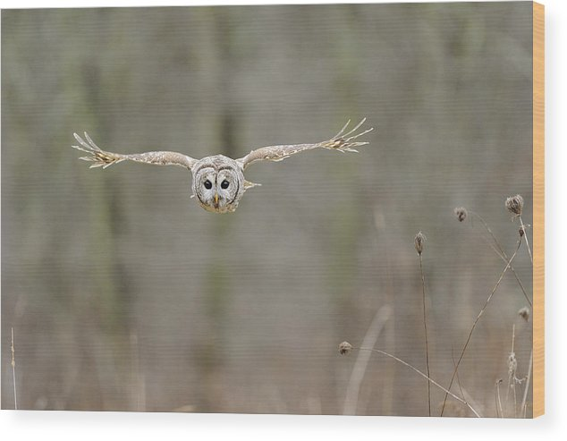 Barred Wood Print featuring the photograph Barred Owl In Flight II by Scott Linstead