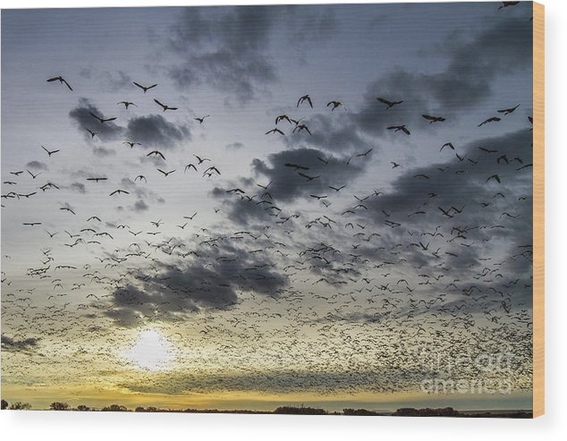 Bosque Del Apache Wood Print featuring the photograph Bosque Blastoff Into Sunrise by Randy Jackson
