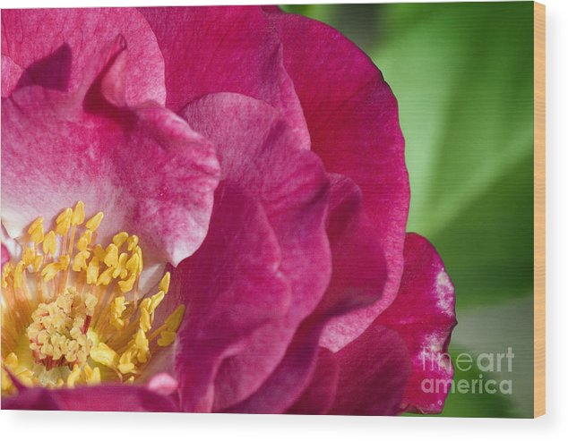 Rose Wood Print featuring the photograph Bright Rose Bloom by Jeannie Burleson