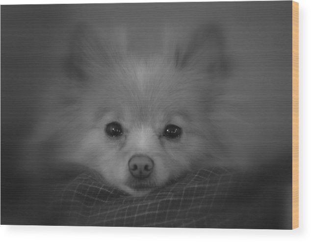 Dog Wood Print featuring the photograph Day Dreamer by Christina Davis