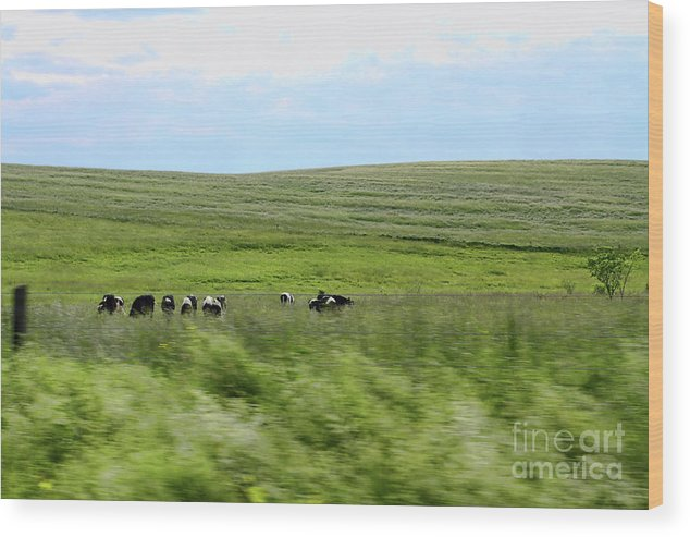 Cows Wood Print featuring the photograph Driveby Shooting No.17 Cows by Christine Segalas