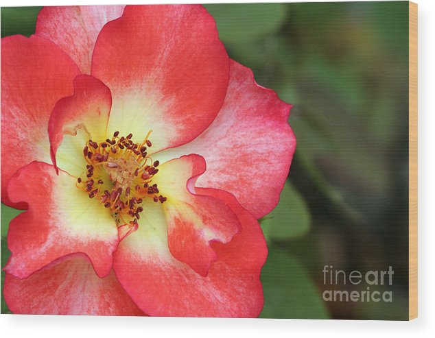 Rose Wood Print featuring the photograph Full Bloom by Jeannie Burleson