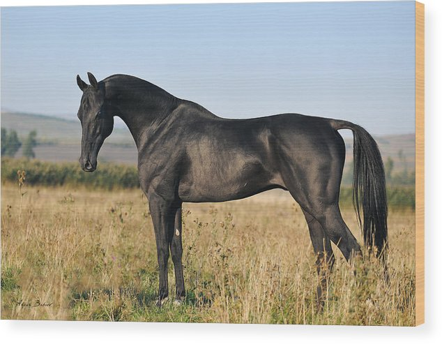 Horses Wood Print featuring the photograph Garagush #3 by Artur Baboev